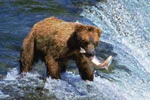 bear catching fish in stream